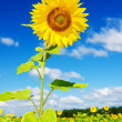 Sunflower against the blue sky — Stock Photo