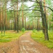 Road in pine forest. — Stock Photo