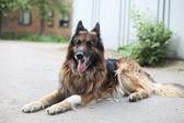 Shepherd dog (Tervueren) Outside — Stock Photo