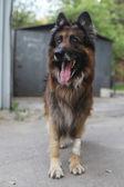 Shepherd dog outdoors (Tervueren) — Stock Photo