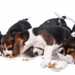 Beagle puppies rob each other dry food — Stock Photo