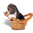 Sad beagle puppy in the basket - Stock Photo