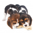 Two beagle puppy chewing an artificial bone - Stock Photo
