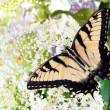 Butterfly Tiger Swallowtail (Pterourus glaucus)  on white flower - Stock Photo