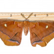 The Polyphemus Moth (Antheraea polyphemus) is isolated on a whit — Stock Photo