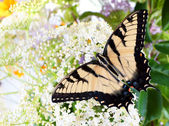 Butterfly Tiger Swallowtail (Pterourus glaucus) on white flower — Stock Photo