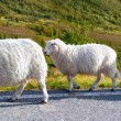 sheeps walking along road — Stock Photo