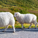 Sheeps walking along road — Stock Photo #10841867