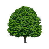Large green chestnut tree grows in isolation — Stock Photo