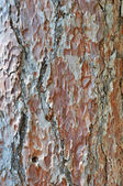 Corteccia di pino vecchio — Foto Stock