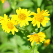 North American arnica (Arnica chamissonis) — Stock Photo