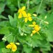Greater celandine (Chelidonium majus) — Stock Photo