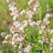 Bladder campion (Silene vulgaris) — Stock Photo