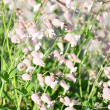 Bladder campion (Silene vulgaris) — Stock Photo #11309820