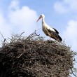 Stock Photo: White-stork in nisting place