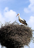 White-stork in a nisting place — Stock Photo