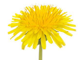 Yellow Dandelion (Taraxacum Officinale) Flower on White Background — Stock Photo