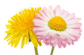 Beautiful Yellow Dandelion and Pink Daisy Flower — Stock Photo