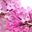 Beautiful Lilac (Syringa) Flowers Close-Up — Stock Photo