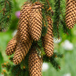 Spruce Branch with Cones — Stock Photo #11145327