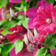 ������, ������: Beautiful Burgundy Clematis Flowers and Buds