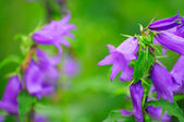 Giant Bellflower with Water Drops on Flower Bed — Stock Photo
