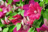 Vacker vinröd clematis blommor och knoppar — Stockfoto