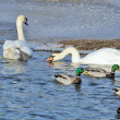 Mallard Ducks and Swans Swimming in the Lake — Stock Photo