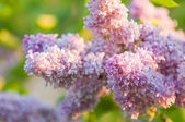 Beautiful Lilac (Syringa) Flowers — Stock Photo