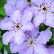 Stock Photo: Light Purple Clematis Flowers