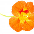 Stock Photo: Orange Nasturtium Flower