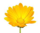 Calendula (Pot Marigold) Flower — Stock Photo