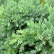 Stock Photo: Evergreen Juniper Shrub