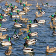 Flock of Mallard Ducks and Drakes Swimming in the Lake — Stock Photo