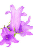 Purple Flowers of Giant Bellflower — Stock Photo