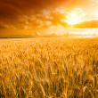 Yellow field with the yellow sky - Stock Photo