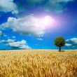 Yellow field with the blue sky - Stock Photo