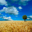 Yellow field with the blue sky — Stock Photo