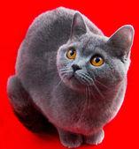 灰色英国短毛猫 — 图库照片