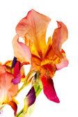 Flor de íris — Fotografia Stock