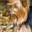 Yorkshire Terrier — Stock Photo #11296576