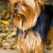 Stock Photo: Yorkie