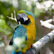 Blue-and-yellow Macaw - Ara ararauna — Stock Photo