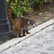 Cozumel raccoon seaking for food - Stock Photo