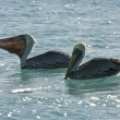 Pelicans are floating on sunny day — Stock Photo