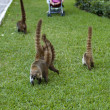 Cozumel raccoons seaking for food — Stockfoto