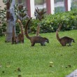 Stock Photo: Cozumel raccoons seaking for food