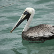 Pelican is floating on sunny day — Stock Photo