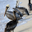 Pelicans are walking on a shore — Stock Photo