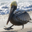 Pelican is walking on a shore — Stock Photo